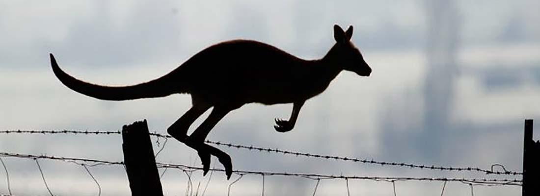Culling kangaroos for damage mitigation